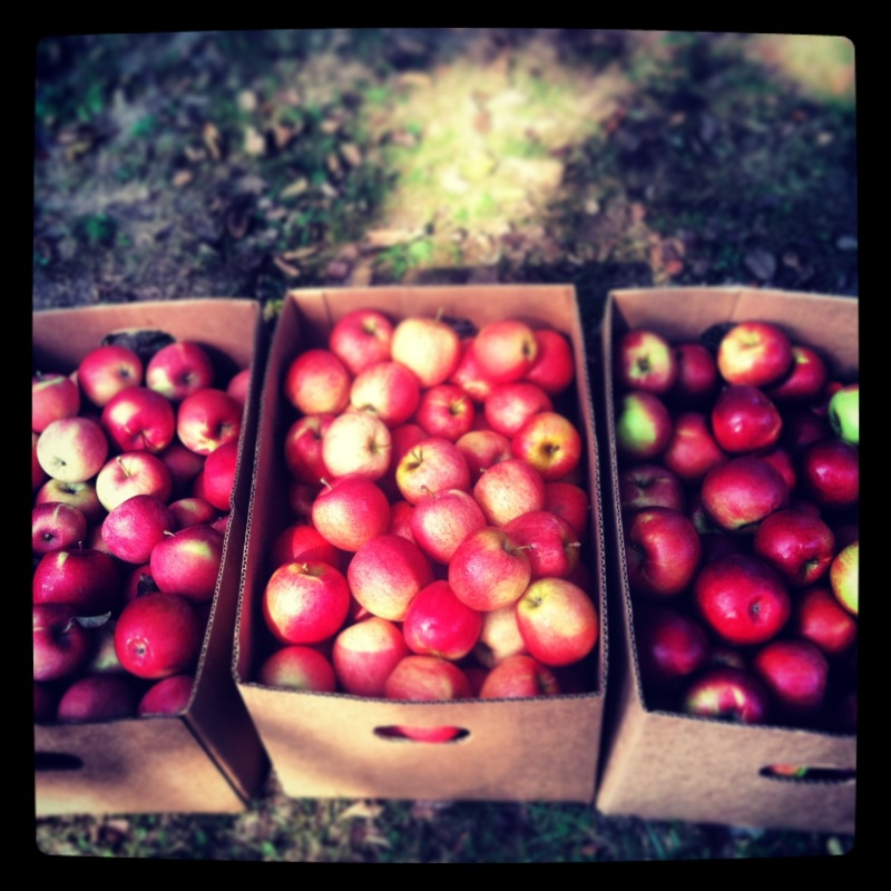 from left to right fugi (red with green) apples, gala apples, spartan (dark red) apples