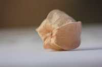 a ground cherry from the nightshade family