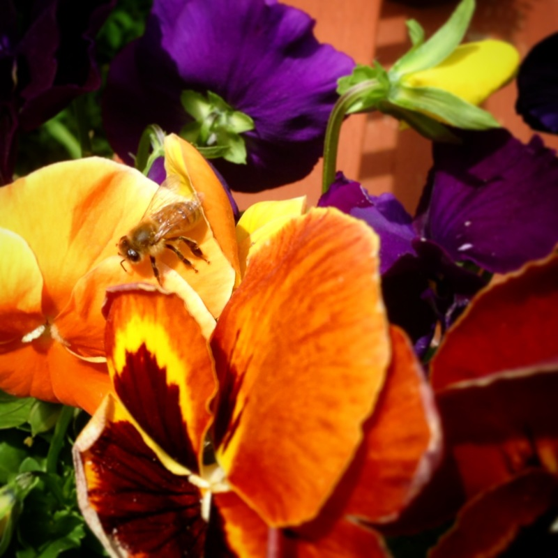 Hello to all you honey lovin' folks. All the hives are doing really good this year and the honey flow is on. Here's a couple pics for you to enjoy. Bee My Honey girls at the honey bar and loving up the pansies.